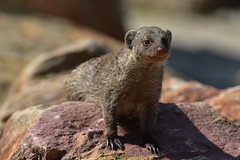 What's up? (Froskeland) Tags: outdoors zoo mongoose straightoutofcamera d7200 nikkor200400mmf4vrii