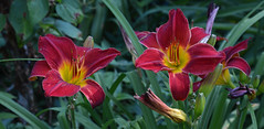 Two For One (BKHagar *Kim*) Tags: flowers flower nature yard garden al healthy colorful lily bright blossom outdoor alabama moms lilies bloom tanner blooms bkhagar