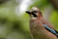 Jay (Snails That Roar) Tags: uk wild summer england urban bird london nature jay britain wildlife urbanwildlife hydepark kensingtongardens royalparks crow dslr birdwatching corvid britishwildlife britishbirds londonwildlife thelongwater ukwildlife 70300mmvr londonbirds nikond3100 theserperntine