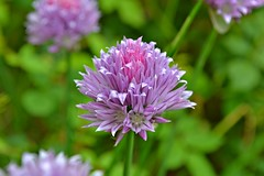 Pretty in Pink and Purple! (Maria Godfrida) Tags: pink flowers summer nature vegetables spring purple herbs lavender chive springtime eatableflowers