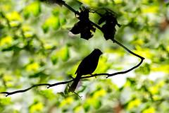 Cardinal 2016 22 (Jim Dollar) Tags: sc birds cardinal southcarolina silhouettes zenglen indianland jimdollar canon6d scenesfrommyhammock