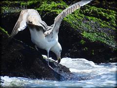 DSCN9850 (DianeBerky19) Tags: beach seagull gulls nikoncoolpixp900