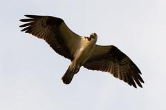 DSC_0539_1 (Ramiro Marquez) Tags: bird flying eagle hawk wildlife osprey fisheagle fishhawk seahawk riverhawk
