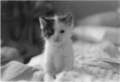 Tater Tot (rootcrop54) Tags: female kitten chat small orphan potato kitteh  macska gatto katzen kot koka kedi katt kissa kttur maka kucing tatertot    kat  maek kais gorbe scannedfromblackwhiteanalogprint