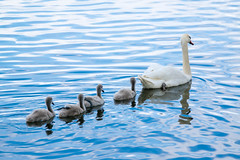 Willkommen zum Schwimmunterricht .. heute, Paddeln mit einem Bein - Welcome to your swimming lessons ... today, paddling with one leg. (ralfkai41) Tags: subadults water tiere schwne kken schwimmen swan nature wasser birds jungtiere outdoor animals schwan natur vgel
