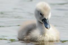 Another fluffy duck!! (Rob Escott - (E-form Photography)) Tags: cygnet roathparklake