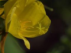 mit Pollen-Pckchen (bratispixl) Tags: germany oberbayern spot tele stempel schrfentiefe nachtkerze chiemgau lichtwechsel blumengarten traunreut fokussierung stadtrundweg bratispixl pollenpckchen