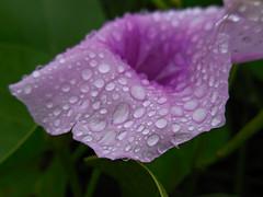 violet /rain drops (kenjet) Tags: flower beautiful rain hawaii petals drops flora pretty blumen petal bloom raindrops waterdrops blume
