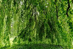 Buche in Hiltrup - 2016 - 0016_Web (berni.radke) Tags: tree giant baum beech mnster buche colossus riese hiltrup