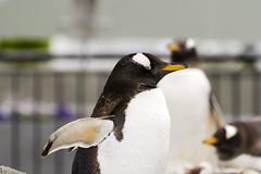 DSC_5070 (littleirons) Tags: acquarium bergen norvegia pinguino norwey