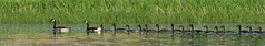 Canada Goose - Bernache du Canada - Branta canadensis (IMG_2636-1F-20160615) (Michel Sansfacon) Tags: canadagoose brantacanadensis faune bernacheducanada parcsqubec parcnationaldeslesdeboucherville canonpowershotsx50hs