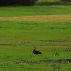 Anas superciliosa (Diana Padrn) Tags: bird birds ave aves australia victoria cussen park nature wildlife naturaleza humedal humedales pacific black duck nade cejudo anas superciliosa