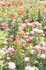 11823077_10153099679082076_5837335232908589625_o (jmac33208) Tags: park new york roses rose garden central schenectady