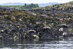 Des phoques