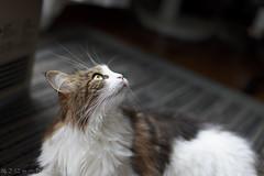 Hi, Tanya. How about heaven? (miyukiz4 su ood) Tags: cat kitten gatinho gatito ktzchen chaton  coth5 gttino littledoglaughedstories