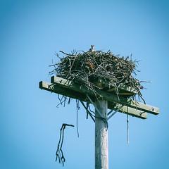 Osprey chicks (bratli) Tags: bird osprey chicks young cedarbeach ny southold northfork longisland