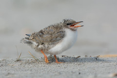 Common Tern Chick (Jesse_in_CT) Tags: commontern nikon200500mm