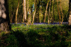 Lower Woods Bluebells (PapaPiper) Tags: spring bluebell springflowers southgloucestershire britishflowers mygearandme mygearandmepremium mygearandmebronze mygearandmesilver mygearandmegold