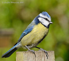 Another Bluey but a nice one (GemElle Photography) Tags: blue bird yellow nikon tit bluetit gemelle sigma50500 d600 gemelle1