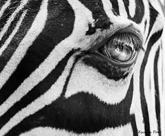 Zebra (Zsuzsa Por) Tags: eye zoo stripes wildlife zebra 2470l animaleye specanimal canoneos50d canonef2470mmf28 canonistas bestcaptureaoi elitegalleryaoi flickraward5