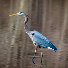 Blue Heron series (leehobbi) Tags: bird heron nature canon wildlife waterfowl patuxent refuge
