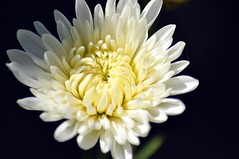Happy Mother's Day (missgeok) Tags: lighting white flower macro nature floral colors beautiful yellow closeup composition petals focus pretty colours angle artistic details sydney may australia celebrations framing framework happymothersday oneflower colourtones mothersdayflower chrystanthemums nikond90