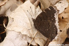 Nymphalis antiopa (Mourning Cloak) (indianaherp) Tags: heritage nature insect outdoors photography education mourning wildlife indiana andrew lepidoptera trail madison environment cloak biology hoffman invertebrate nymphalis antiopa