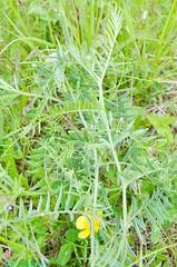 SILVERHILL WOOD, TUFTED VETCH (Tibby Man) Tags: woodland grassland nottinghamshire hardwick forestrycommission teversal silverhillcolliery silverhillwood