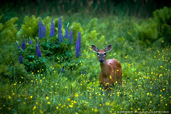 W I L D L I F E (Robert Allan Clifford) Tags: flower wildlife newhampshire deer wildflower lupine sugarhill