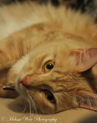 Those Eyes to the soul (melissaweir) Tags: orange pet cat fur whiskers furball