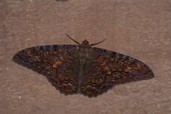 Black Witch (Steve Boer) Tags: canon butterfly insect mexico moth animalplanet 100400l ascalaphaodorata blackwitch 60d