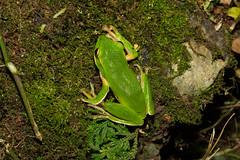 Emerald tree frog (vlee1009) Tags: macro frog frogs