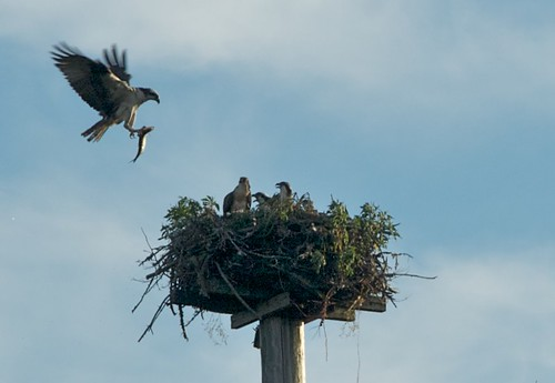 Osprey feeds chicks