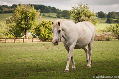 Hungry horse (clicheshots) Tags: england horse pet green animal village unitedkingdom broadway cotswolds