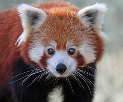 Red Panda (Buggers1962) Tags: portrait nature face animal closeup canon mammal zoo eyes firefox panda close wildlife redpanda colchester colchesterzoo itsazoooutthere canon7d hganimalsonly