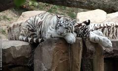 Panthera tigris (Dominique Lenoir) Tags: photo tiger tigre whitetiger beauval tigreblanco 41110 saintaignan tigreblanc biaytygrys beyazkaplan weisetiger harimauputih dominiquelenoir