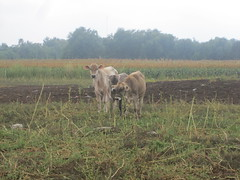 IMG_1945 (J. Nisly) Tags: cattle cows dairy brownswiss