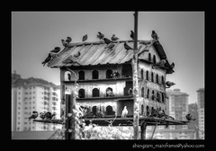 serviced apartments (Slow Diver (Avifauna Friend)) Tags: bird loft pigeon