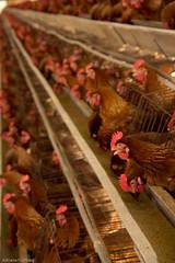 af1310_0489 (Adriana Füchter) Tags: stilllife food animal animals still galinha farm object comida egg centro central eggs perspectiva huevo corredor objeto granja ovo ovos avicola aviario produtos produção produzir poedeiras