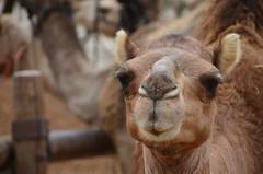 . (Uri ZACKHEM) Tags: ride palestine camel negev naqab birasluj