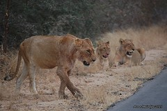 DSC_3861 (Arno Meintjes Wildlife) Tags: africa southafrica wildlife lion safari bigcat predator krugerpark big5 pantheraleo arnomeintjes