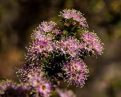 Pink buttons (Kunzea capitata) ([S u m m i t] s c a p e) Tags: bluemountains pinkbuttons kingstableland kunzeacapitata