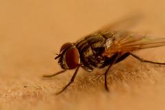 Macro (Paola Marn) Tags: macro nikon foto patas alas cerca marron clase primera mosca fea roja fotografa nikond3200 pelitos d3200