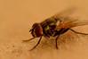 Macro (Paola Marín) Tags: macro nikon foto patas alas cerca marron clase primera mosca fea roja fotografía nikond3200 pelitos d3200