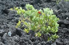 JJS_0772 (Mollivan Jon) Tags: newzealand ecology volcano lava places fieldtrip northisland species geology pohutukawa rangitotoisland succession haurakigulf metrosiderosexcelsa mollivan aucklandregion primarysuccession taxonomy:kingdom=plantae rocksgeology taxonomy:family=myrtaceae taxonomy:genus=metrosideros taxonomy:binomial=metrosiderosexcelsa taxonomy:common=pohutukawa miscellaneouskeywords tamronspaf90mmf28dimacro11272nii ecologicalprocess observationaddedtonaturewatchnz photowithassociateddata newzealandecologicalsocietyfieldtrip