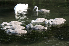 Family-Breakfast (5 eyes) Tags: nature swans waterbirds riverscene