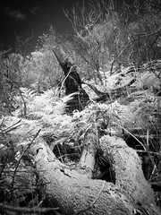 In the Bush (glidergoth) Tags: ir mono sydney australia infrared palmbeach barranjoey