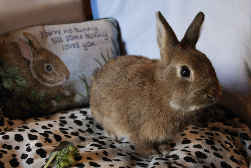 Light Brown Dwarf Bunny - Pics about space