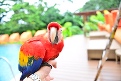 Carlotta in one hand, D800 in the other (art w.) Tags: costarica parrot macaw carlotta nayaraspa