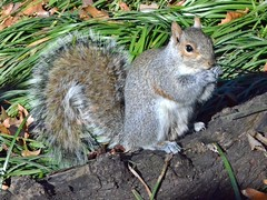 Grey Squirrel posing at Central Park (presbi) Tags: usa newyork squirrel centralpark scoiattolo mygearandme mygearandmepremium mygearandmebronze mygearandmesilver mygearandmegold mygearandmeplatinum mygearandmediamond infinitexposure